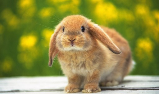 bunny hindu
